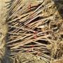 ;江西地徑一厘米中農矮生無花果苗哪里有賣的