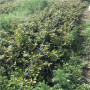 新闻:高度50公分以上阳光蓝蓝莓苗批发怎么卖