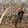 千姬桃樹苗栽培模式、內蒙古引進千姬桃樹苗