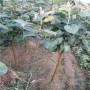 黃金梨樹苗、西藏鑒定黃金梨樹苗