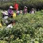麗水藍莓苗什么地方賣藍莓苗這里品種好