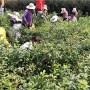 无锡蓝莓苗多少钱一棵蓝莓苗 盛景农业