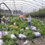 瑞卡藍莓苗哪里好瑞卡藍莓苗批發價格