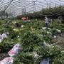揚州市藍莓苗批發價格