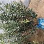 哈爾濱藍莓苗供應商藍莓苗這家真好