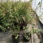 菏澤藍莓苗哪家好