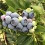 便宜藍莓苗聯系電話便宜藍莓苗哪里有出售