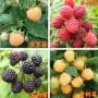 黃樹莓苗哪里便宜黃樹莓苗大量出售