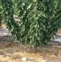 鄂爾多斯黑珍珠櫻桃苗種植技術
