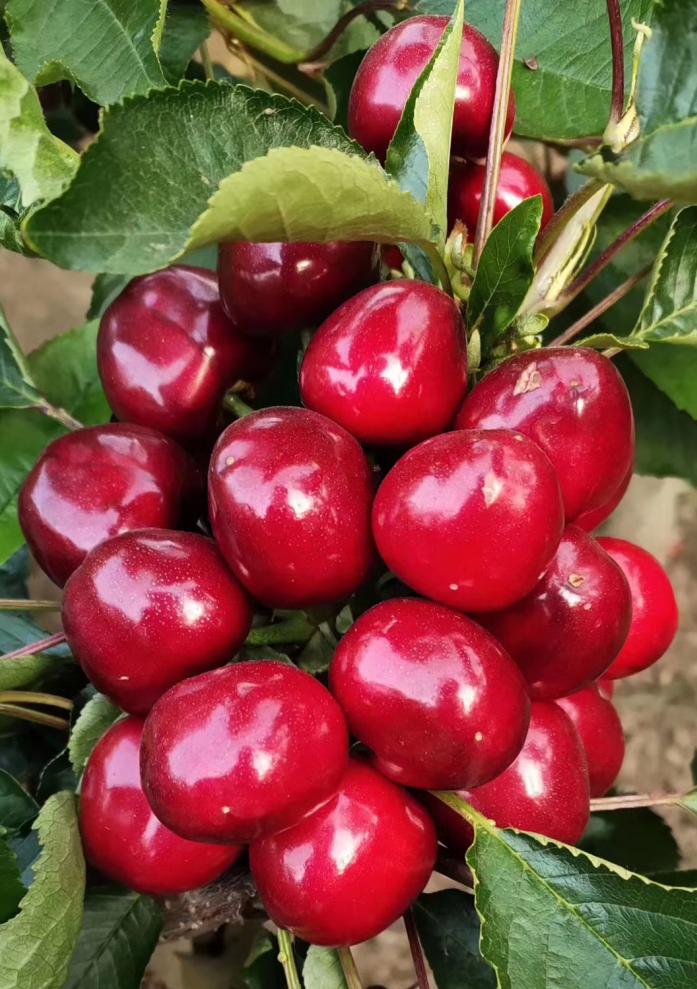 錫林郭勒盟羅亞明櫻桃苗價格是多少