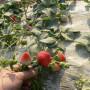 海西新品种烟富8苹果树苗(新闻)基地
