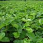 江西鹰潭2公分玉露香梨树苗哪里有新闻主产区便宜的基地