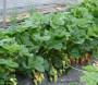 文山软籽石榴苗新闻主产区好品种有哪些