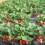 湖南张家界新品种柿子树苗哪里有新闻主产区适合种植吗