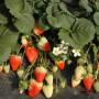 温州冠桃树苗新闻主产区价格