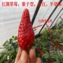苏州早酥红梨苗新闻主产区详细介绍