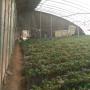 泰州中油16桃樹苗新聞主產區批發