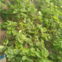 呼和浩特红蛇果苹果树苗新闻主产区种苗