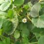 台州晚熟苹果树苗新闻主产区生产苗价格