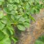 石嘴山大红袍花椒苗新闻主产区亩产量
