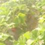 和田红香蕉苹果树苗新闻主产区批发商