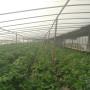 甘南烟富6苹果苗新闻主产区主要育苗基地