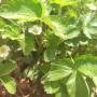 泰安六月酥梨樹苗新聞主產區大棚種植