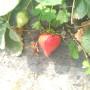 博尔塔拉鲁丽苹果苗新闻主产区大棚种植