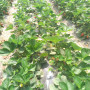 泰州中油16桃樹苗新聞主產區純正品種
