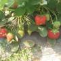 贺州冬桃树苗新闻主产区哪里有新品种