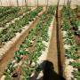 丰香草莓苗建园丰香草莓苗供应种植建园