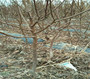 1公分樹上干杏樹苗價格