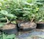 藍莓苗、芬蒂藍莓苗、芬蒂藍莓苗新價格