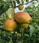 红太阳梨树苗种植基地【内蒙古】红太阳梨树苗培育基地