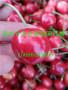 山西阳泉桃树实生苗主产区市场出售价格