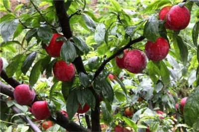 四川泸州优质早酥红梨树苗《新闻》图片种植要求