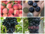 遵义赤水6公分蓝莓苗《新闻》种苗