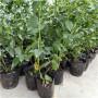 新鄉錢德勒藍莓苗√出售價格