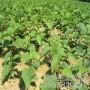 供應:新榮獼猴桃苗 金什1號獼猴桃苗低價供應——華玉園藝場