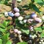 供應:宿松藍莓苗 藍片藍莓苗價格表——華玉園藝場