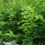 供应:全州蓝莓苗 喜来蓝莓苗价格——华玉园艺场