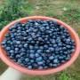 供应:夏县蓝莓苗 纳尔逊蓝莓苗供应商家——华玉园艺场
