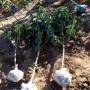 新闻:饶阳含香樱桃苗低价供应哪里有现货