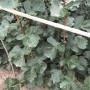 大棉球山楂苗咨詢、大棉球山楂苗價格及購買