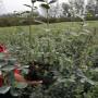 盆栽蓝莓苗多少钱一株、盆栽蓝莓苗基地