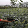 出售莱克西蓝莓苗、莱克西蓝莓苗今年报价