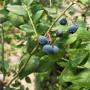 兔眼蓝莓苗哪里便宜、兔眼蓝莓苗多少元购买