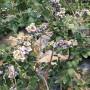 兔眼蓝莓苗哪里有卖、兔眼蓝莓苗价格咨询