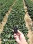 咖啡草莓苗、廣東陽江咖啡草莓苗哪里能買到{萬林@公司}