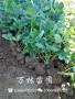 草莓/黔莓草莓苗、新疆阿克苏地区黔莓草莓苗哪里价格便宜